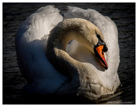 Mute Swan 11x14 matted print in 16x20 metal black frame $120 + shipping