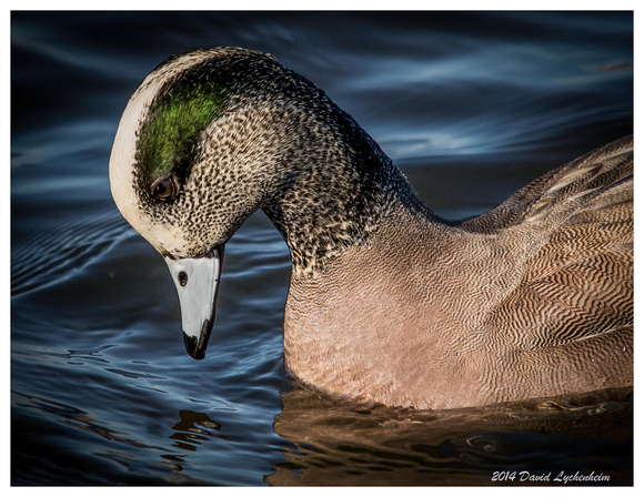 American Wigeon 11x14 matted print in 16x20 metal black frame $120 + shipping