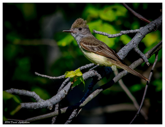 Great Crested Flycatcher 11x14